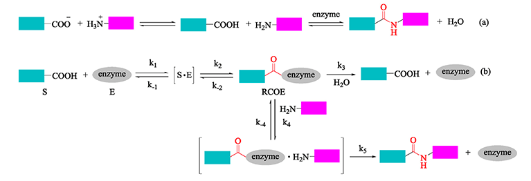 Reaction-mechanisms-of-Peptide-enzyme-Conjugation.png