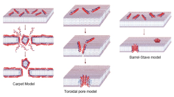 The three popular models of AMP-membrane interactions