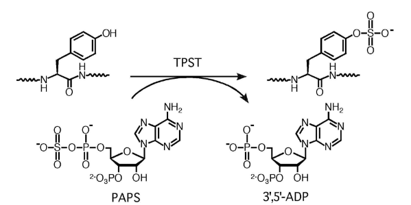 The-tyrosylprotein-sulfotransferase-reaction.png